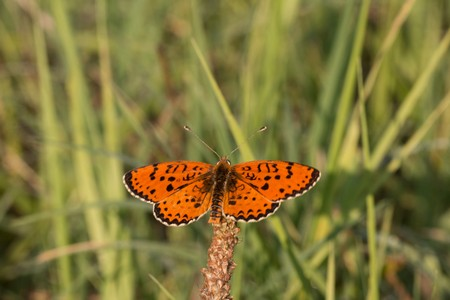 lesser spotted fritillary butterfly