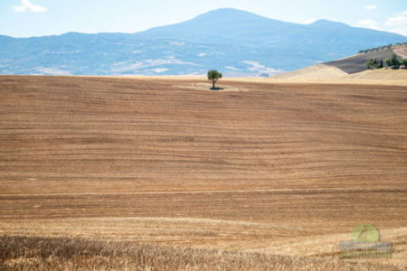 Tree in Val D Orcia