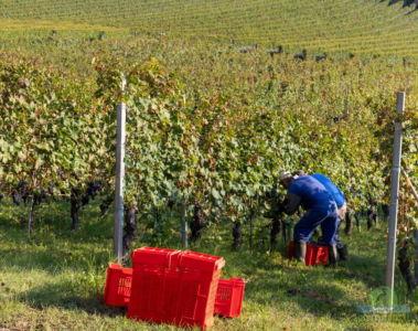 harvest in monferrato piemonte langhe