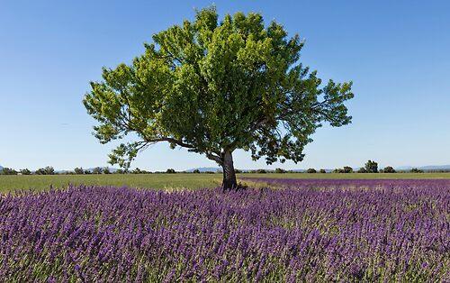 Tree in a laveder field
