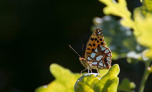 Lathonia butterfly
