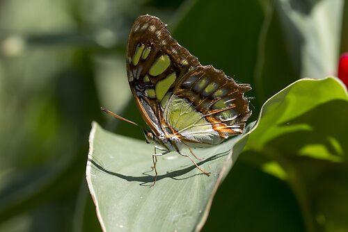 Malachine butterfly