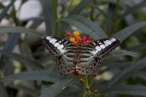 Clipper butterfly