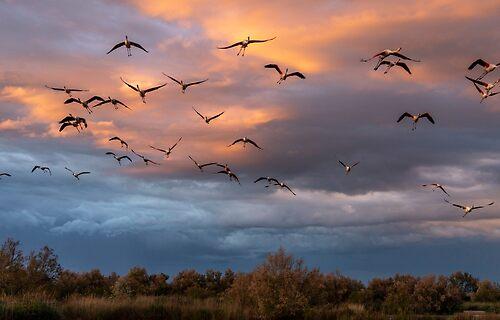 Flamingos in flight