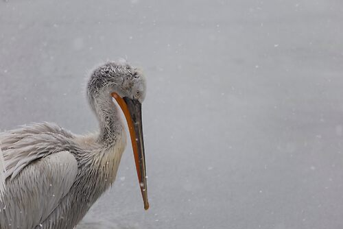 Pelican in the snow
