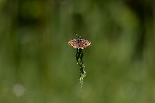 Southern grizzled skipper