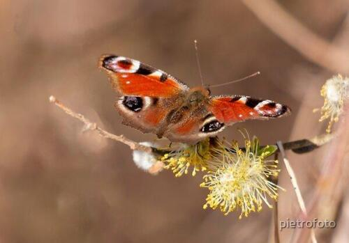 RB-Butterflies