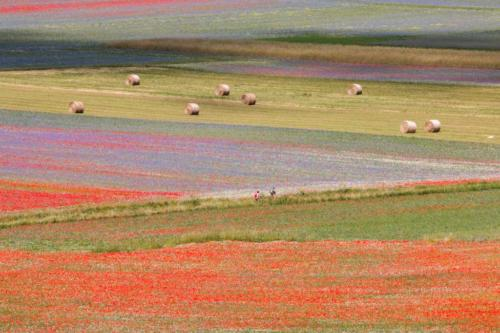 The flowering of Castelluccio